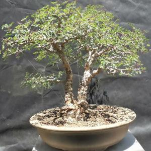 tree in a box bonsai